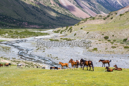 horses pasturing on grass in mountains