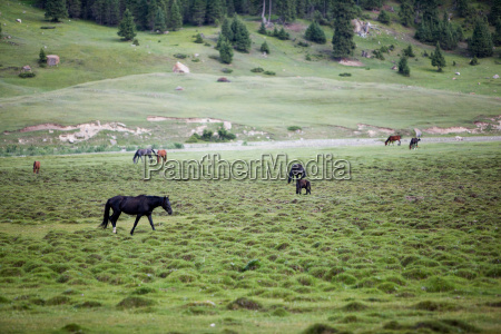 horses pasturing in the field