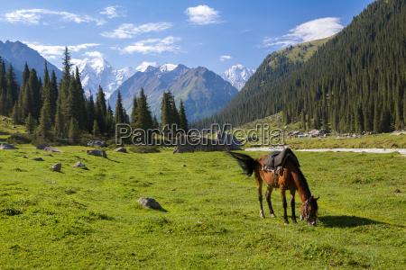 horse feeding grass high mountains background