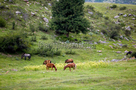 grazing horses on the field
