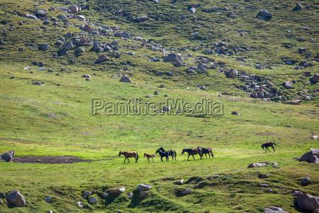 herd of horses walking in mountains