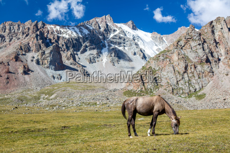 horse in mountains feeding grass at