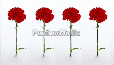 four red carnations in snow