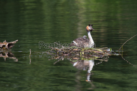 grebes with chicks 8 crested grebe
