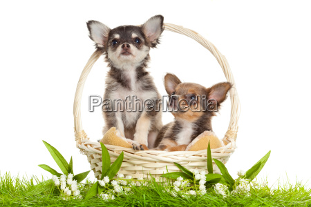 chihuahua puppies lovely puppy s