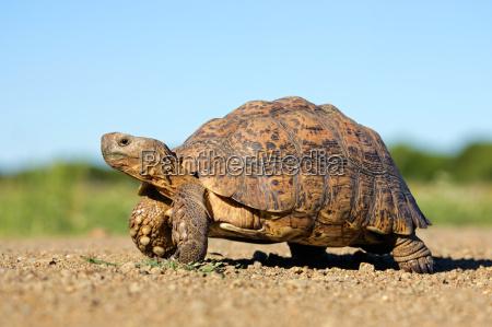 leopard, tortoise - 10058342