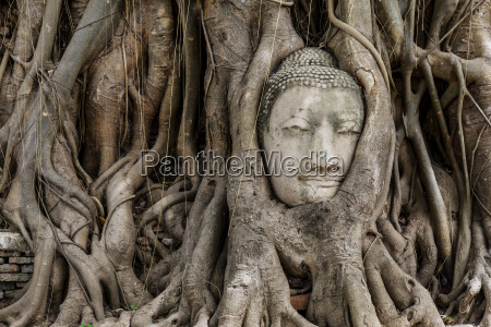 buddha, head, in, banyan, tree - 10064886