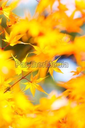 yellow, maple, in, autumn - 10065042
