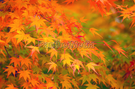yellow and red maple leave in