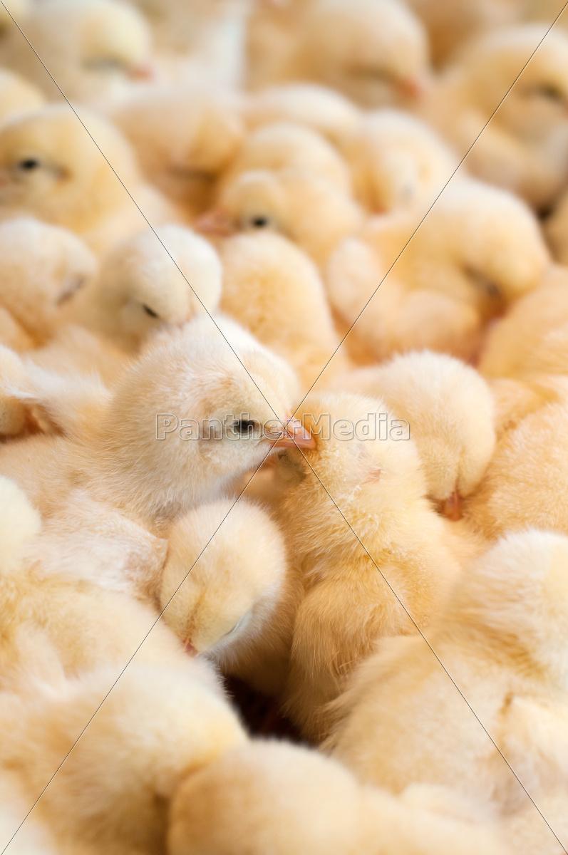 bunch, of, chicks - 10066612
