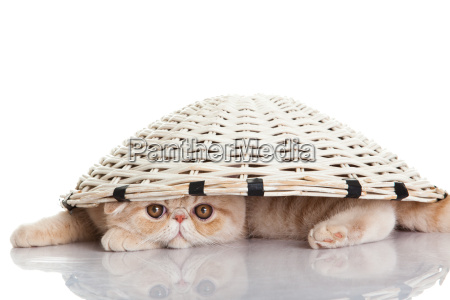 exotic shorthair cat funny playful cat