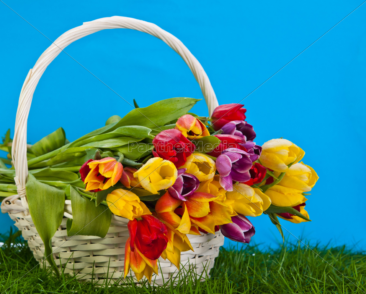 basket, with, colorful, tulips. - 10072960