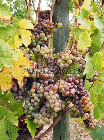 botrytised chenin grape early stage savenniere