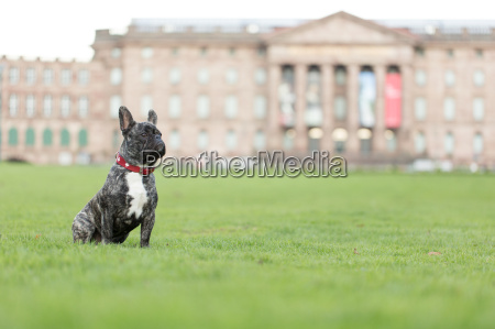 french bulldog in front of castle