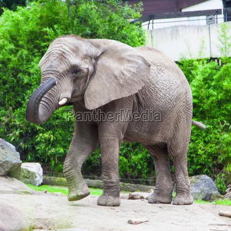 african, bush, elephant, in, zoo - 10109273
