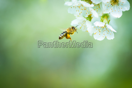 honey bee enjoying blossoming cherry tree
