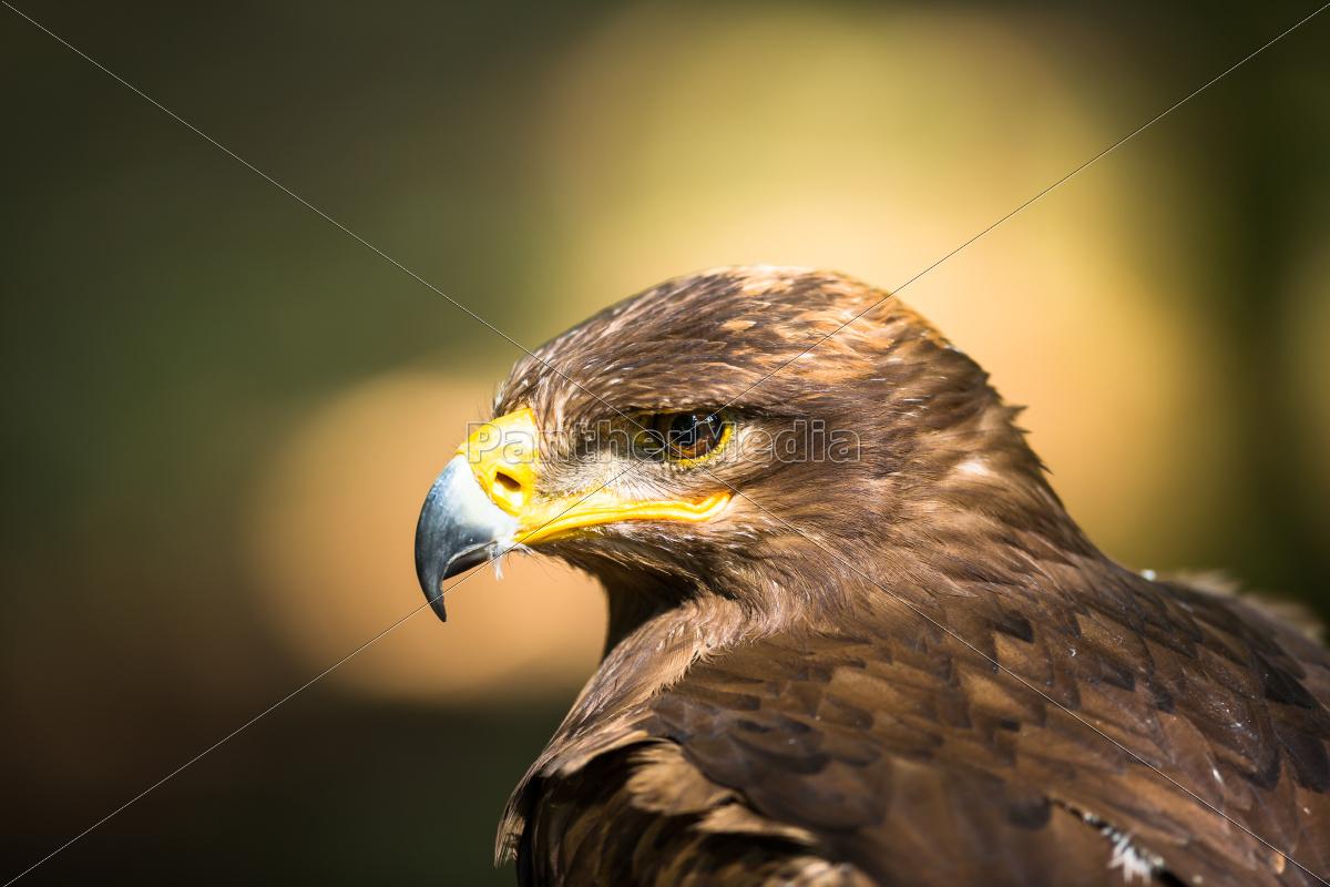 steppe, eagle, -, close-up, portrait, of - 10110775