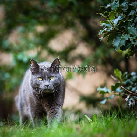 cat outdoors on a green lawn