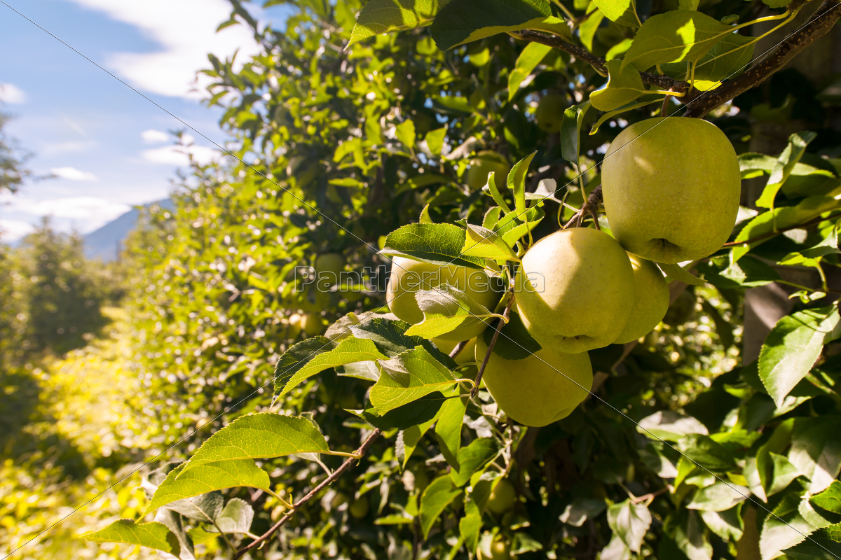 apple, orchards - 10113489