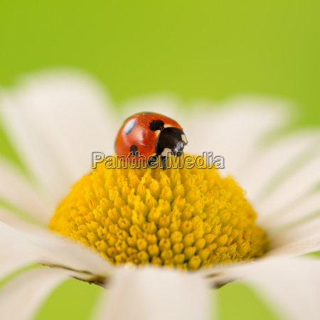 ladybug on a flower in summer