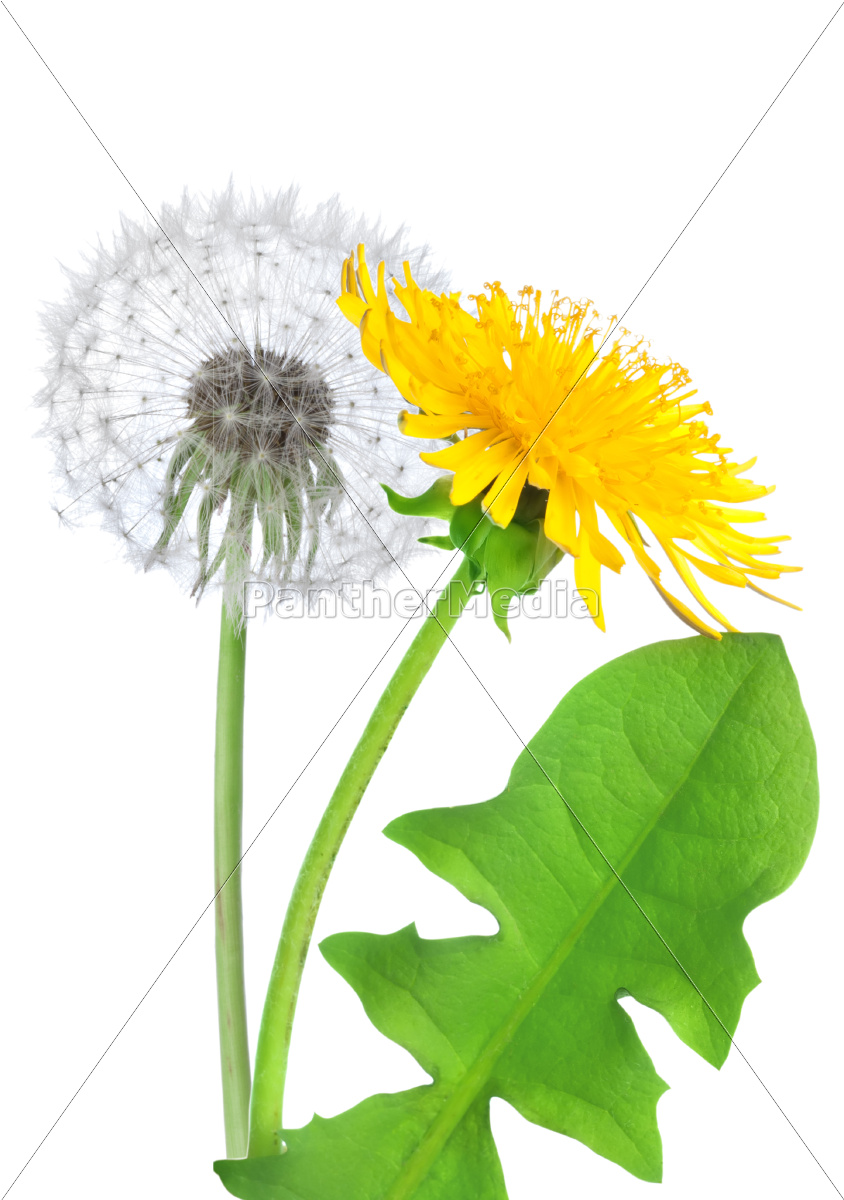 dandelion, flower, isolated - 10116043