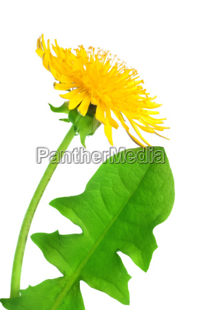 dandelion, flower - 10116047