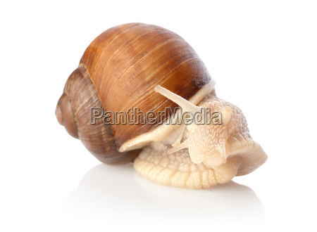 snail, isolated - 10116115