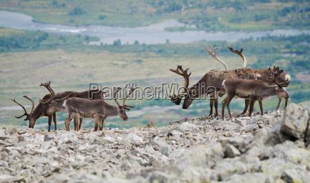 reindeer mountain view