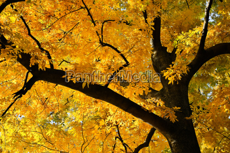 deciduous tree in yellow colors