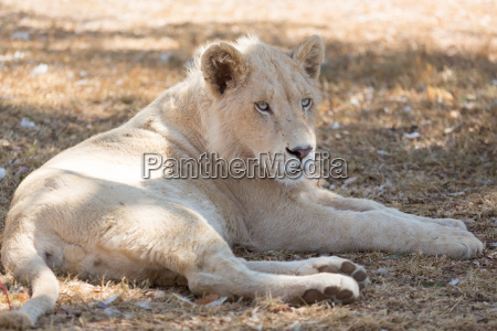 young, white, lion - 10144529