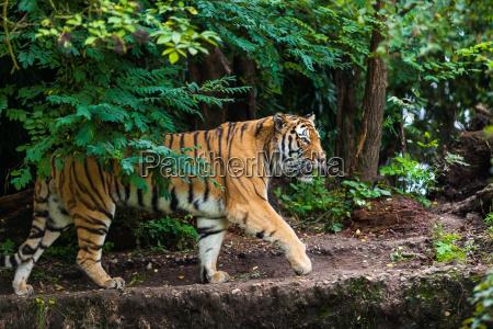 tiger - 10145635