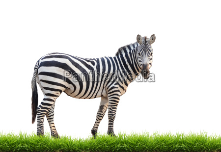 zebra with green grass isolated