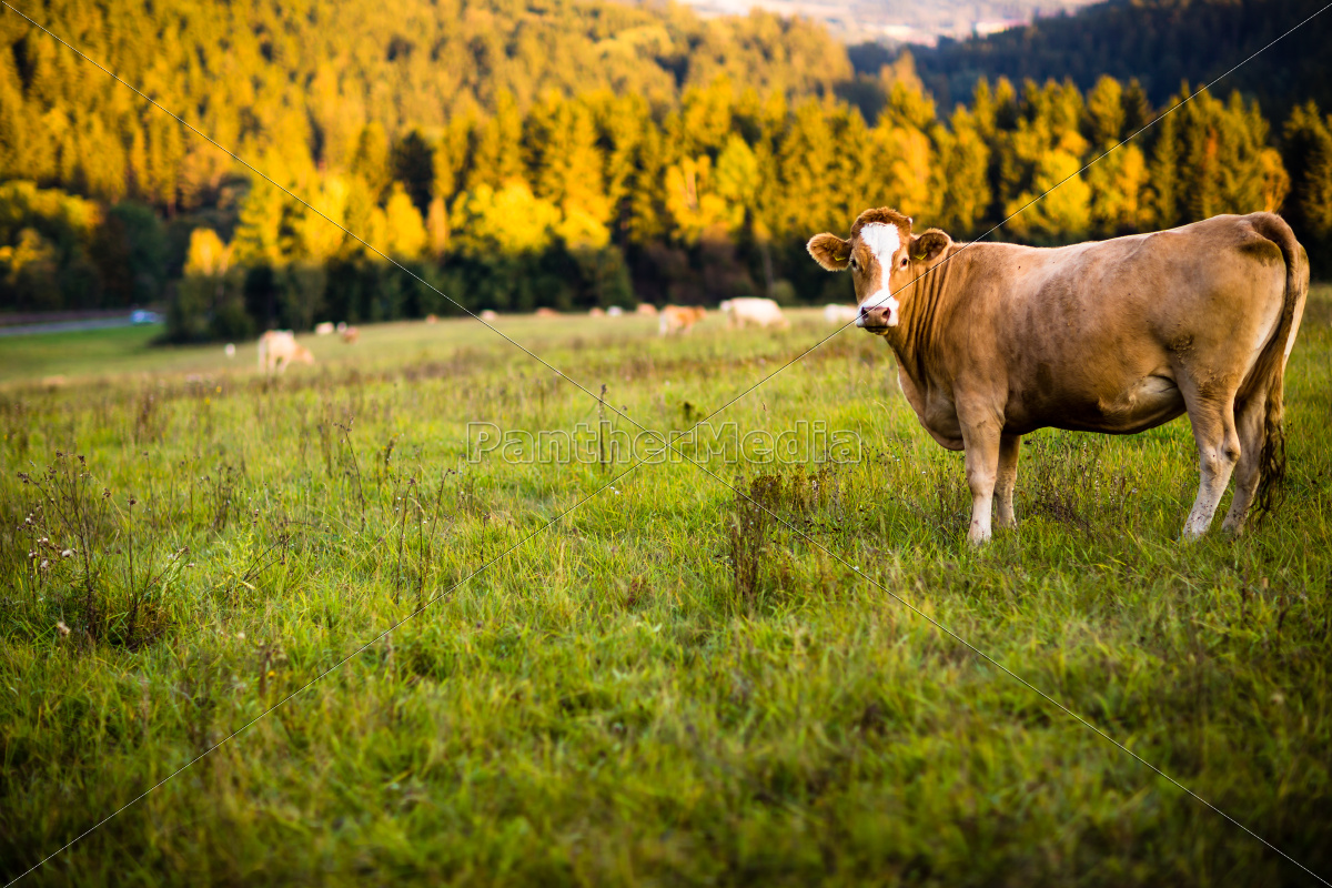 cows, grazing, on, a, lovely, green - 10148117
