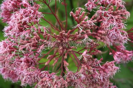 flowering, purpurwasserdost - 10153225