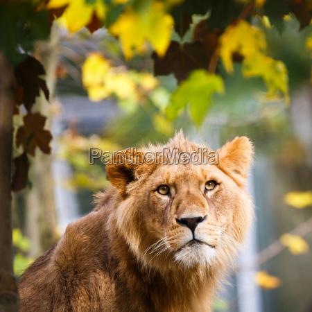 close-up, portrait, of, a, majestic, lioness - 10157301