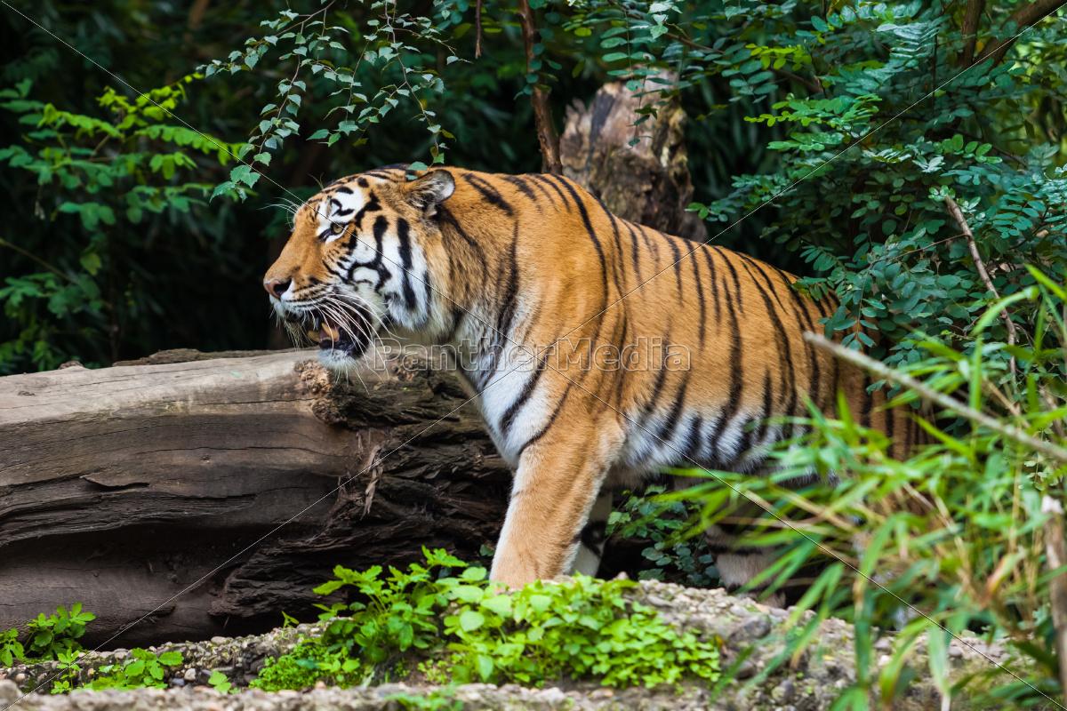 tiger - 10163411