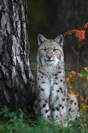 the, lynx, (lynx) - 10172557