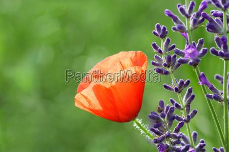 lavender with corn poppy