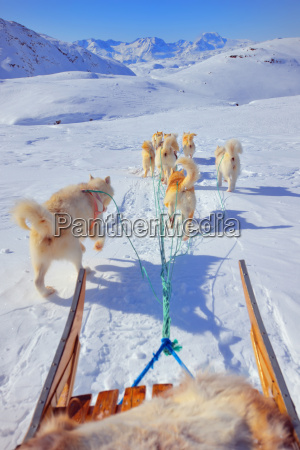 dog, sledging - 10175171