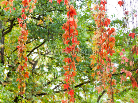 red leaves of climbing plant in