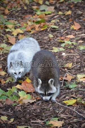 two raccoons at the zoo of