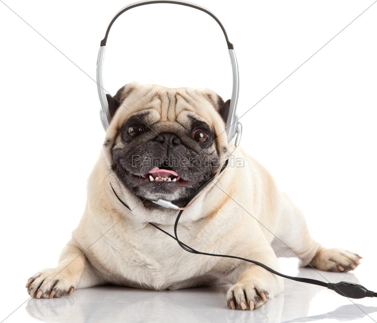 dog, listening, to, music., , pug - 10220731