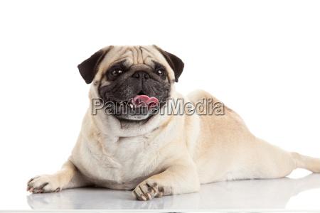pug, dog, isolated, on, a, white - 10220717