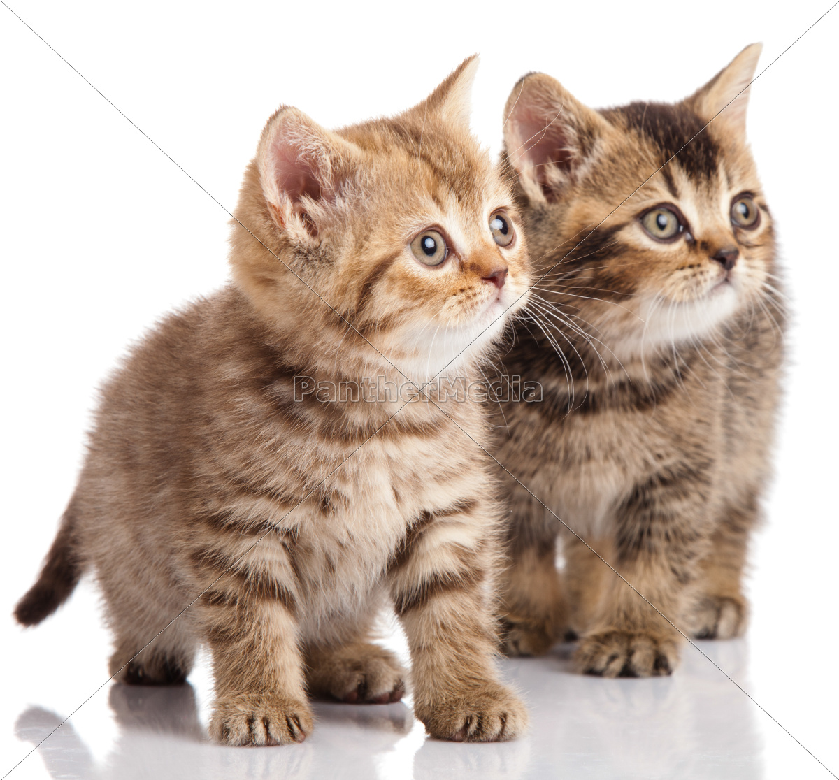 two, kitten, on, a, white, background - 10220645