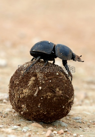 flighless, dung, beetle, rolling, dung, ball - 10223051