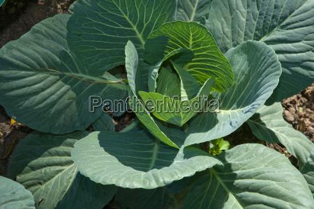 green cabbage in garden