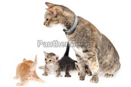cat, and, kittens - 10235187