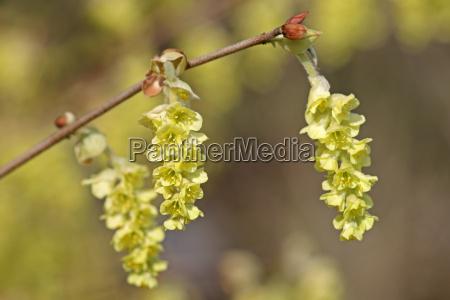himalayan mockingbane corylopsis himalayana
