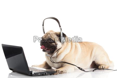 pug, dog, with, laptop. - 10261821