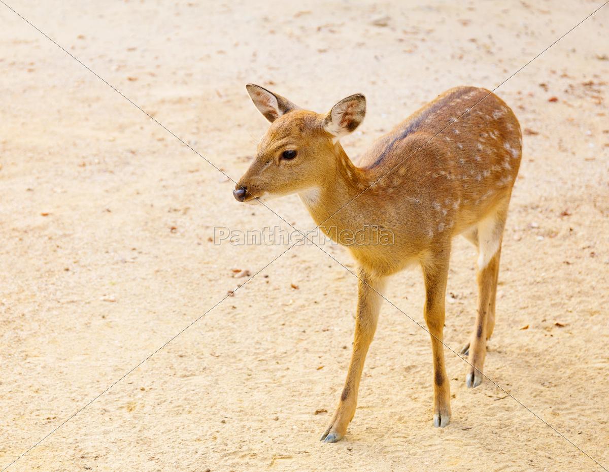 female, roe, deer - 10262851